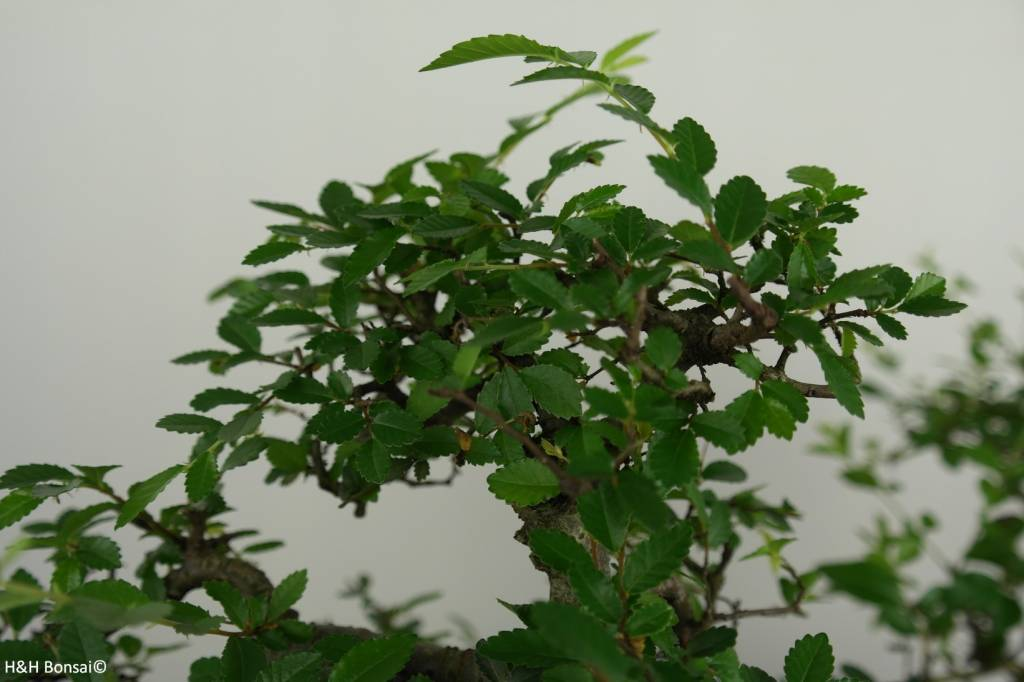 Bonsai geschenk Combi Ulmus en Ligustrum, nr. G42