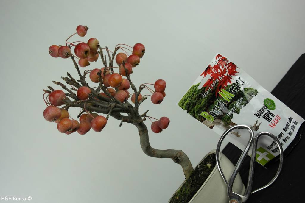 Bonsai geschenk Malus, nr. G43