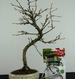 Bonsai geschenk Pseudolarix, nr. G45