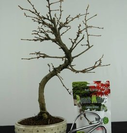 Bonsai gift set Golden Larch, no. G45