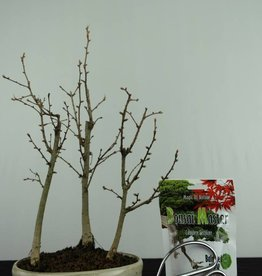 Bonsai geschenk Pseudolarix, nr. G47