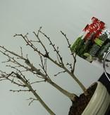 Bonsai gift set Golden Larch, no. G47