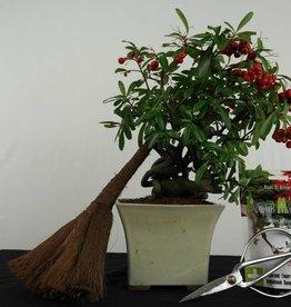 Bonsai geschenk Pyracantha, nr. G48