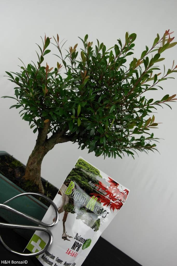 Bonsai geschenk Syzygium, nr. G49