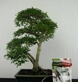 Bonsai gift set Snow rose, no. G50