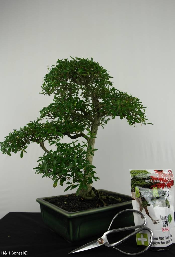 Bonsai Geschenk Serissa, nr. G50