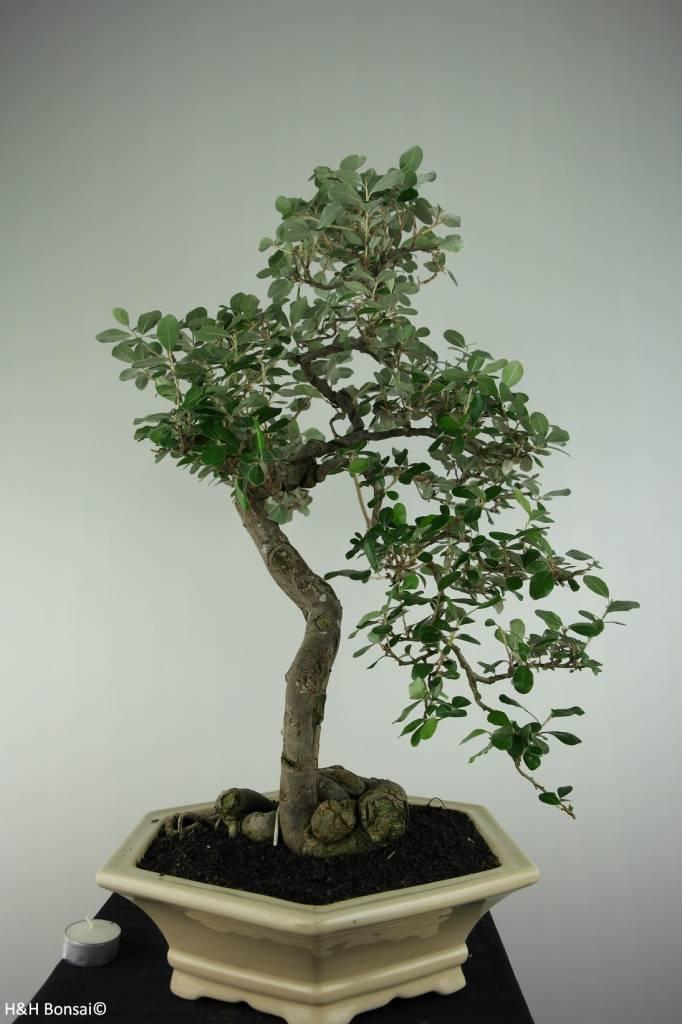 Bonsai Elaeagnus sp., nr. 6629