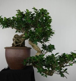 Bonsai Chin. Feigenbaum, Ficus microcarpa, cascade, nr. 6691