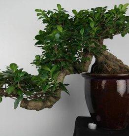 Bonsai Chin. Feigenbaum, Ficus microcarpa, cascade, nr. 6692