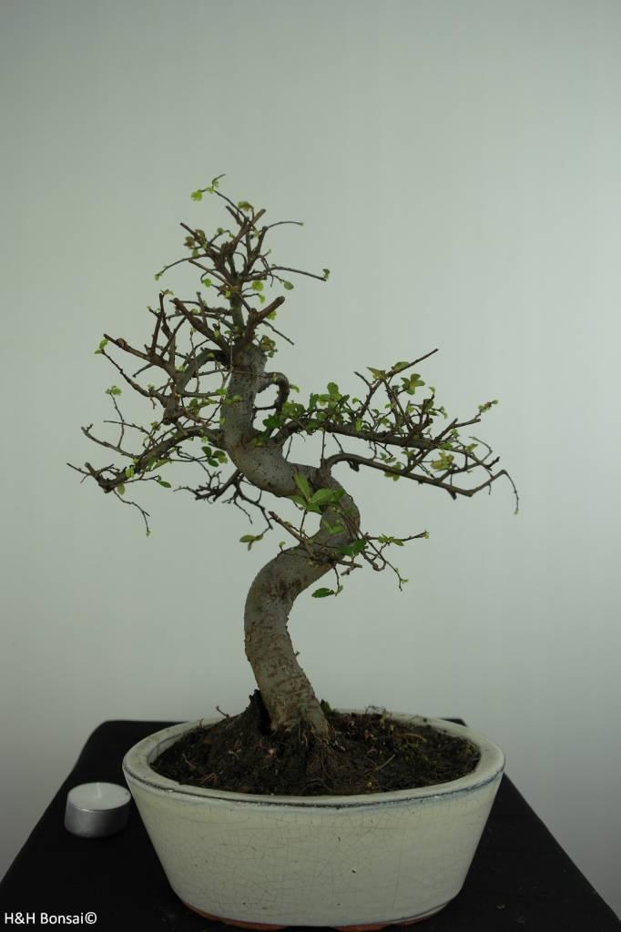 Bonsai Ulmus, Chinese Iep, nr. 6708