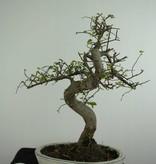 Bonsai Chin. Ulme, Ulmus, nr. 6708