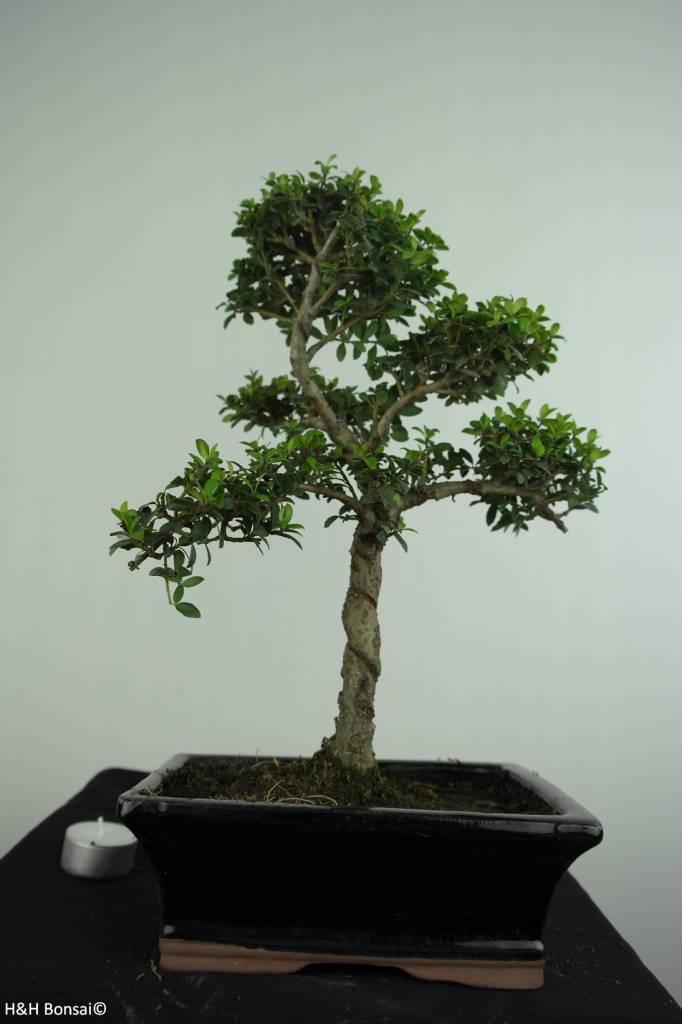 Bonsai Japanische Stechpalme, Ilex crenata, nr. 6713