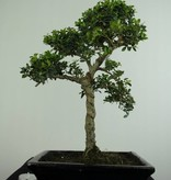 Bonsai Japanese Holly, Ilex crenata, no. 6713