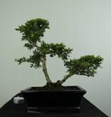 Bonsai Japanese Holly, Ilexcrenata, no. 6716