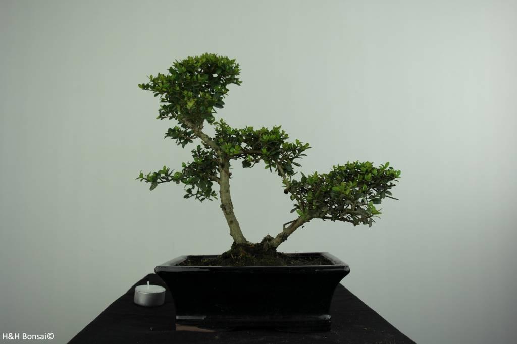 Bonsai Ilex crenata, Japanse hulst, nr. 6716
