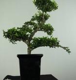 Bonsai Ilex crenata, Japanse hulst, nr. 6717