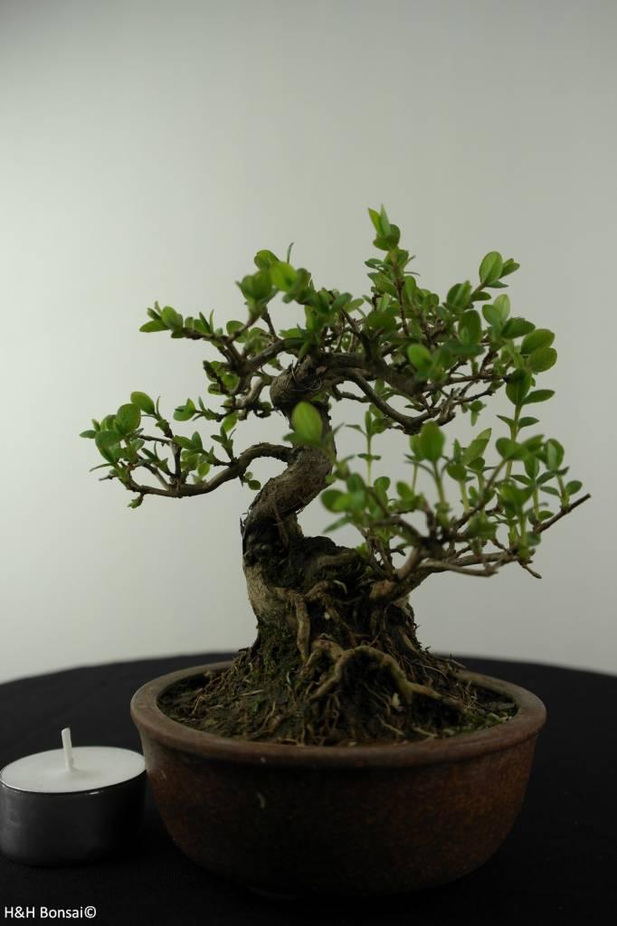 Bonsai Shohin Lonicera japonica, Japanse kamperfoelie, nr. 6962