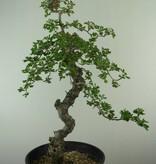 Bonsai Crataegus laevigata 'Paul's Scarlet', Rode meidoorn, nr. 7050