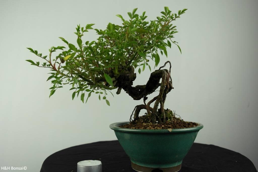 Bonsai Rose, Rosa sp., no. 6525