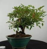 Bonsai Rosa sp., Roos, nr. 6525
