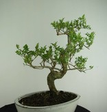 Bonsai Ash tree, Fraxinus sp., no. 6729