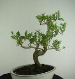 Bonsai Esche, Fraxinus sp., nr. 6729