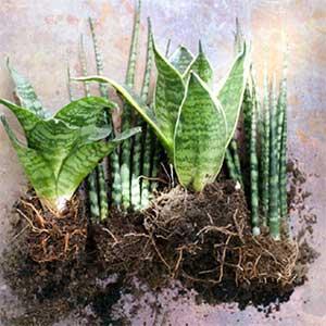 Sanseveria is de plant van de maand
