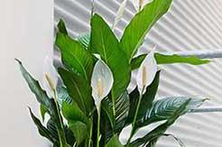 Spathiphyllum luchtzuiverende