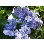 Hortensia Bluebird