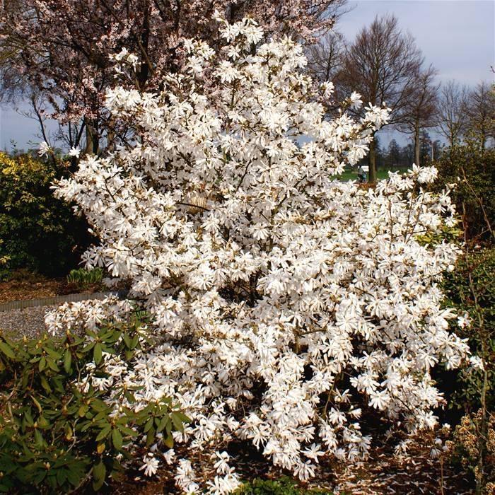 Beverboom - Magnolia Stellata - wit - plantwebshop