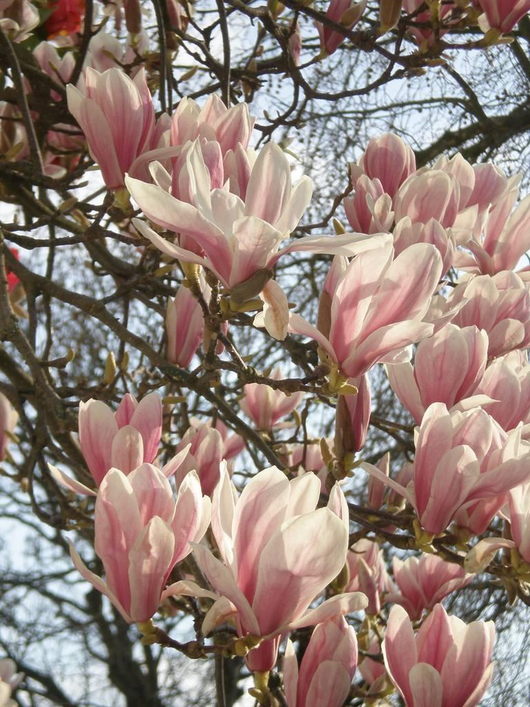 Beverboom - Magnolia Soulangeana - wit/rood - plantwebshop