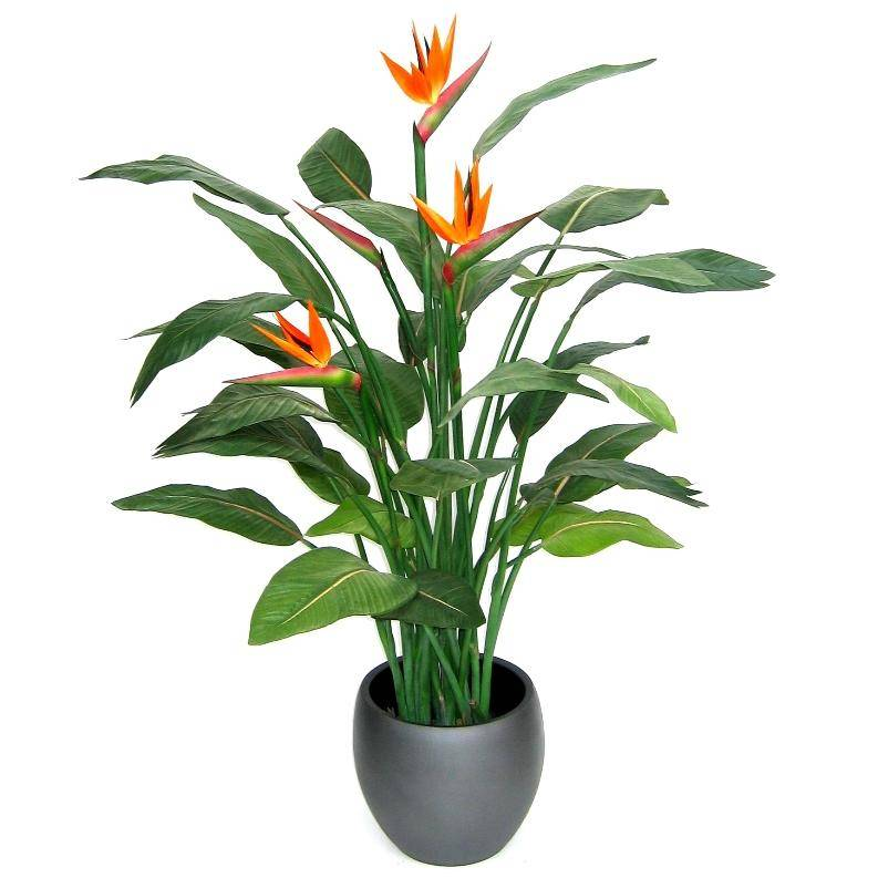 bird of paradise plant indoor