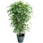 Ficus Exotica Deluxe 210cm bont