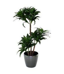 Draceana Fragrans 85cm