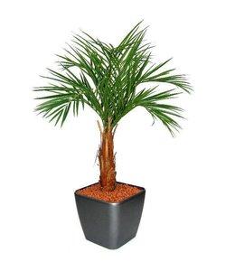 Areca Palm op stam 120cm