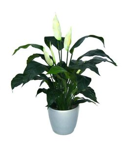 Spathiphyllum Deluxe 80cm
