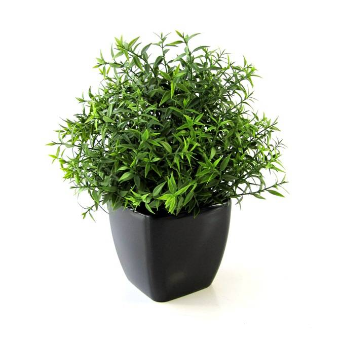 eucalyptus 35cm in pot. Black Bedroom Furniture Sets. Home Design Ideas