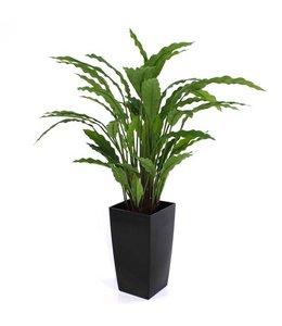 Calathea groen 60cm