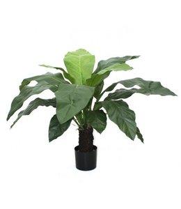 Anturium Jungle King 100cm