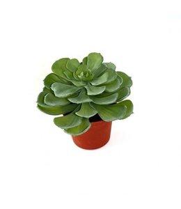 Echeveria vetplant 16cm in pot