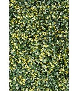 Buxus Sempervirens Fijn Bont