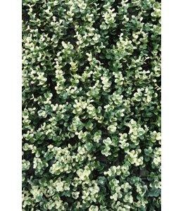 Buxus Sempervirens Grof Bont