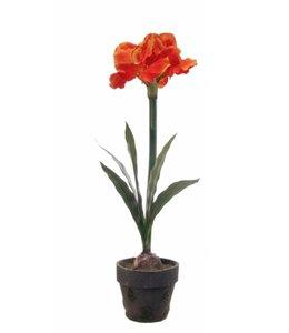Amarylis in pot 70 cm