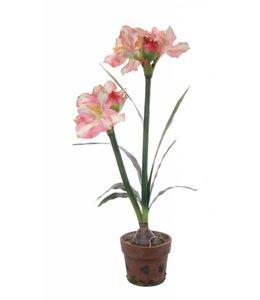 Amarylis in pot 80 cm