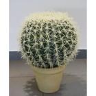 Echino golden barrel cactus 34 cm