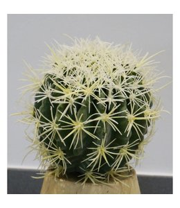 Echino golden barrel cactus 18 cm