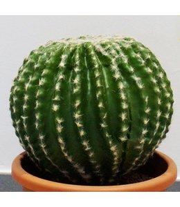 Barrel cactus 24 cm