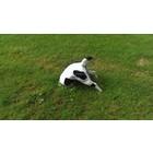 Jack russel in de grond wit/zwart