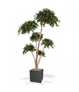 Ficus Exotica Layer x6 300 cm
