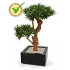 Podocarpus Bonsai Deluxe x2 65 cm UV